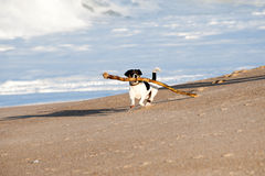 Dog walking on the beach Royalty Free Stock Photo