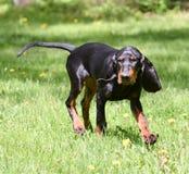 Dog walking Stock Photography