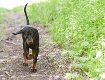 Dog walking Royalty Free Stock Photos