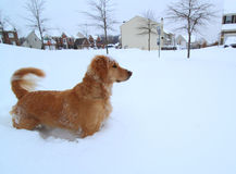 Dog Walking in Blizzard. Cute Golden Retriever Dog Walking and playing in winter Blizzard with deep snow on ground royalty free stock photography