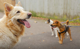 Dog walking dogs. Group of dogs out for a dog walk on leashes Royalty Free Stock Image