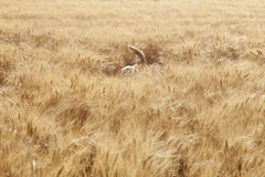 Dog Walking In Field Of Barley Royalty Free Stock Photos