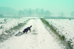 Dog walking on the field cowered with snow Stock Photos