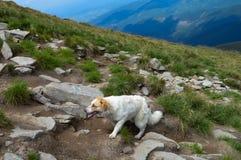 Dog walking final steps to Hoverla, the highest Ukrainian mountain. Carpathian mountains, Ukraine: Dog walking final steps to Hoverla, the highest Ukrainian royalty free stock image
