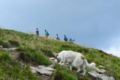 Dog walking final steps to Hoverla, the highest Ukrainian mountain. Carpathian mountains, Ukraine: Dog walking final steps to Hoverla, the highest Ukrainian royalty free stock photos