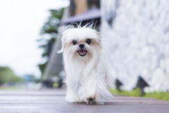 A dog walking on the floor. A dog walking on the floor Royalty Free Stock Photo