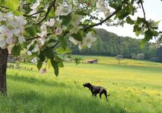 Dog walking in a flower-filled meadow on a farm in Germany in the spring. The farm is surrounded by trees, a forest in the background with fruit-bearing trees stock photos