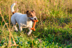Dog walking by footpath at summer meadow with toy bone Stock Photography