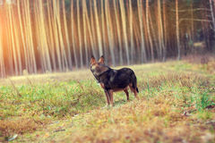 Dog walking in the forest Royalty Free Stock Photo