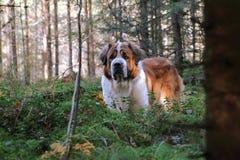 Dog walking Royalty Free Stock Images