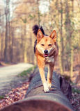 Dog walking in the forest Royalty Free Stock Images