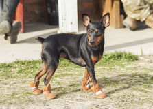 Dog walking on the grass in brown boots. Small black brown dog walking on the grass in brown boots stock image