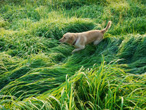 Dog walking in the Grass land Royalty Free Stock Photography
