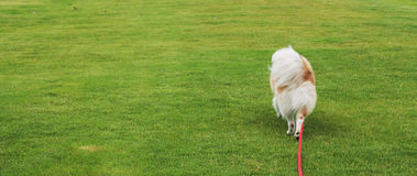 Dog walking. On the green grass Stock Photo