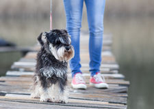 Dog walking on the leash on the dck Stock Photography