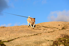 Dog walking on leash at mountains. Jack Russell Terrier on top of a rock Royalty Free Stock Images