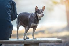 Dog while walking on a leash in the Park.  Stock Photo