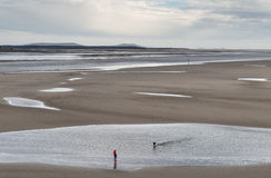 Dog Walking. Llansteffan,UK - April, 10 2016. A woman out walking exercises her dog on a windy day whilst the tide is out in the Tywi estuary beach, one of the Stock Image