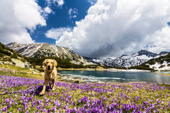 Dog Walking on a Mountain Crocus Field Stock Photos