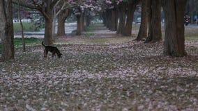 Dog walking near blooming Pink Trumpet (Tabebuia rosea) tree stock video
