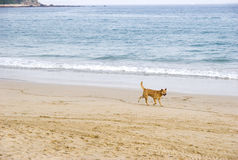 Dog walking near sea Royalty Free Stock Image