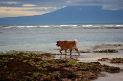 Dog walking out to sea Stock Photography