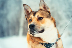 Dog walking outdoor on leash Portrait Winter Royalty Free Stock Image