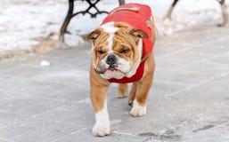 Dog walking outdoor Royalty Free Stock Photo