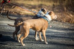 Dog walking outside on leash day job royalty free stock images