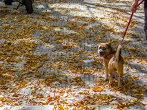 Dog walking over fallen leaves stock photos