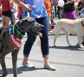 Dog walking. Royalty Free Stock Photography