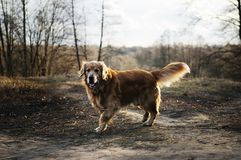 Dog walking in park Stock Images