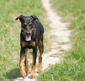 Dog walking on a path Stock Images