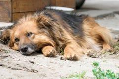 Dog during walking Royalty Free Stock Images