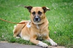 Dog during walking Stock Image