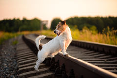 Dog walking on railway. Jack Russell Terrier working off-leash on sunset Royalty Free Stock Photo