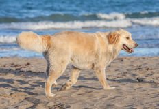The dog is walking on sand beach in Thailand. Stock Photography