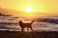 Dog walking on the sand at sunrise Royalty Free Stock Photography