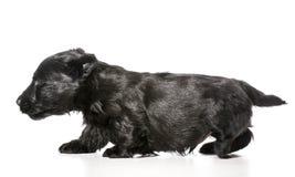 Dog walking. Scottish terrier puppy walking isolated on white background royalty free stock photography