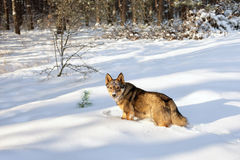 Dog walking in snow. Dog walking in the snowy forest royalty free stock photography