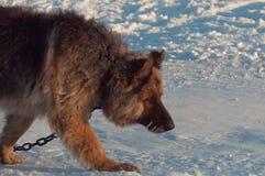Dog walking on snow Stock Photo