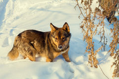 Dog walking in snow Royalty Free Stock Images