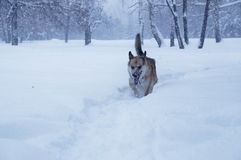 A dog is walking on a snow. Photo of a sheepdog that walks through a snow ina a park during a snowfall Stock Image