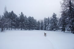 A dog is walking on a snow. Photo of a sheepdog that walks through a snow ina a park during a snowfall Stock Images