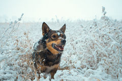 Dog walking in the snowy field. Covered with the first snow Stock Image