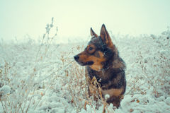 Dog walking in the snowy field. Cowered with fist snow Stock Photography