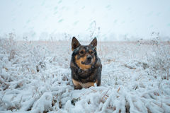 Dog walking on the snowy field Royalty Free Stock Photography