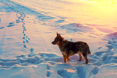 Dog walking on a snowy field. At sunset Stock Image