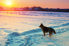 Dog walking in the snowy field Royalty Free Stock Photos