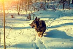 Dog walking in snowy forest Royalty Free Stock Photo